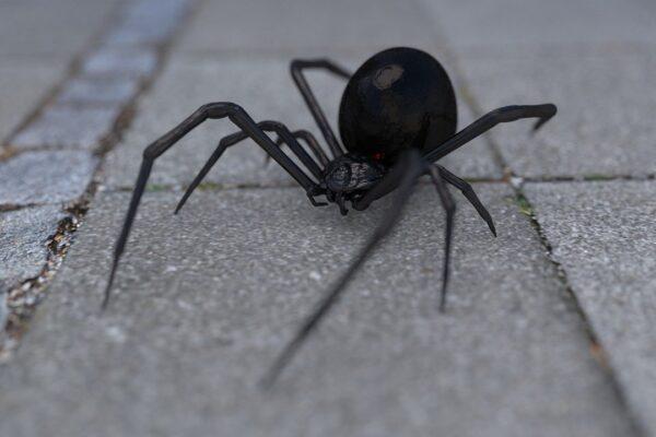 get rid of spiders black widow